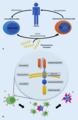 Therapeutischer Ex-vivo-Gentransfer.webp