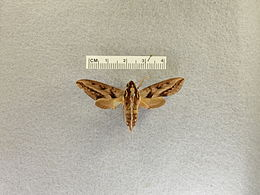 Theretra turneri (from Queensland, Australia) - Frost Entomological Museum at Penn State.jpg