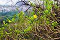 Thevetia flower.jpg