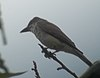 Thick-billed Kingbird (6062989988).jpg