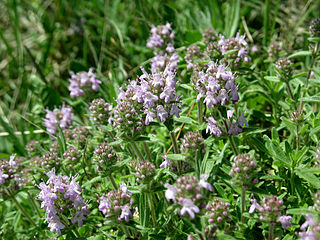 <i>Thymus pannonicus</i> species of plant