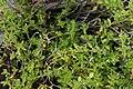 Thymus praecox Albiflorus 2zz.jpg