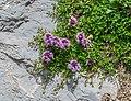 Thymus serpyllum at Lac de Roy (1).jpg