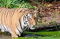 Tiger (15694731832).jpg