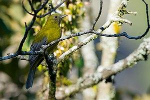 Grey-winged cotinga - Image: Tijuca condita Gray winged Cotinga