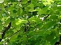 Tilleul commun parc Pierrefitte-Nestalas feuillage.JPG