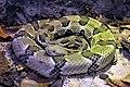 Timber Rattlesnake (9064334074).jpg