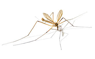 Tipuloidea - Tipula paludosa