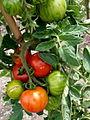 Tomate Tigerella P1020497.JPG