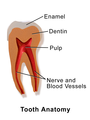 Tooth Anatomy Part 1.png