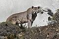 Torres del Paine puma JF2.jpg