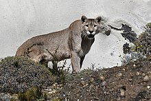 Cougar - Wikipedia