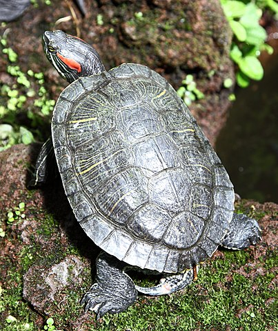 Tortuga de Florida, Trachemys scripta elegans