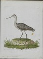 Totanus stagnalis - 1790-1796 - Print - Iconographia Zoologica - Special Collections University of Amsterdam - UBA01 IZ17400091.tif