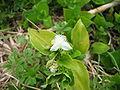 Tradescantia fluminensis (Flower).jpg