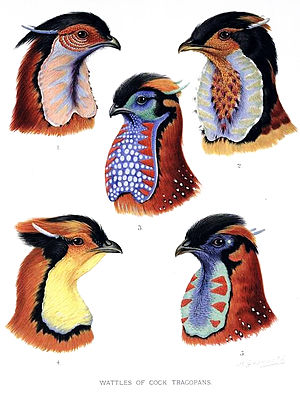 William Beebe - Five species of Tragopan pheasants from William Beebe's book A Monograph of the Pheasants, published 1918–1922