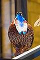 Tragopan Pheasant (38404037014).jpg