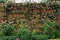 Trained rose and shrub rose against brick wall in Boreham, Essex, England.jpg