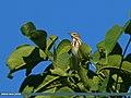 Tree Pipit (Anthus trivialis) (22240714290).jpg