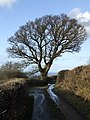 Tree alongside country lane at Crymlyn - geograph.org.uk - 151477.jpg