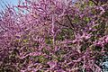 Tree in bloom @ Jardin Villemin @ Paris (33885587426).jpg