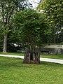 Tree of Heaven (Ailanthus altissima) - Guelph, Ontario 2015-08-17.jpg