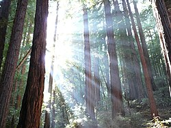 Sunlight shining through redwoods in Muir Woods, California