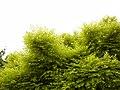 Trees in iran-qom city -پوشش گیاهی و درختان استان قم 07.jpg