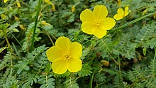 Tribulus terrestris growing on a beach (Philippines) 2.jpg