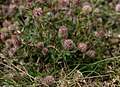 Trifolium-arvense-flowers.JPG