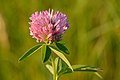 Trifolium medium - keskmine ristik.jpg