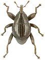 Trigonopterus uniformis holotype - ZooKeys-280-001-g093.jpg
