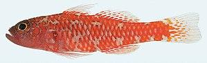 Percomorpha - Image: Trimma naudei female 23.3 mm, Nha Trang, Vietnam
