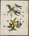 Trochilus longicaudus - 1820-1860 - Print - Iconographia Zoologica - Special Collections University of Amsterdam - UBA01 IZ19100399.tif