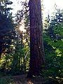 Trout Lake Big Tree 01.JPG