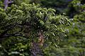 Tsuga diversifolia 04.jpg