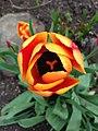 Tulipa sp. (4).jpg