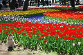 Tulips,Hitachi Seaside Park,Hitachinaka-city,Japan.JPG