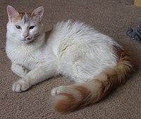 Turkish Van Example2.jpg