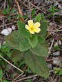 Turnera ulmifolia (16384025127).jpg