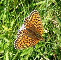 Twin-spot fritillary. Brenthis hecate - Flickr - gailhampshire.jpg