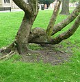 Twisted tree near Blackburn Cathedral - panoramio.jpg