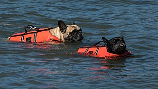 Two French bulldogs swimming in life jackets.jpg