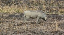 File:Two Warthogs Phacochoerus africanus grazing in Tanzania.ogv