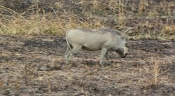 Fil:Two Warthogs Phacochoerus africanus grazing in Tanzania.ogv