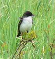 Tyrannus tyrannus Eastern Kingbird.jpg
