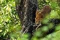 Uday Kiran Leopard BR Hills-3.jpg