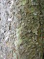 Ulmus lamellosa (botanische tuin kerkrade) bark.jpg
