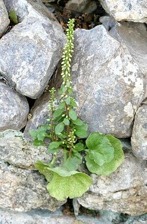 Umbilicus (genus) - Image: Umbilicus horizontalis