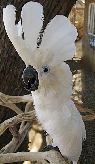 White cockatoo - Image: Umbrella Cockatoo (Cacatua alba) Free Flight Aviary San Diego